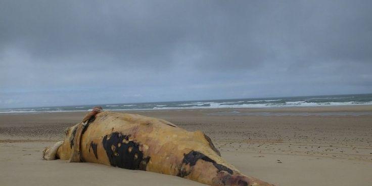 Baleine à bosse échouée entre Carcans et Lacanau. Sa carcasse a été découverte mercredi dernier. Pour les scientifiques, elle illustre le retour de ce type de baleines dans le golfe de Gascogne d'où elles avaient disparu.
