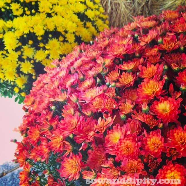 How to Care for Fall Mums - Sow & Dipity