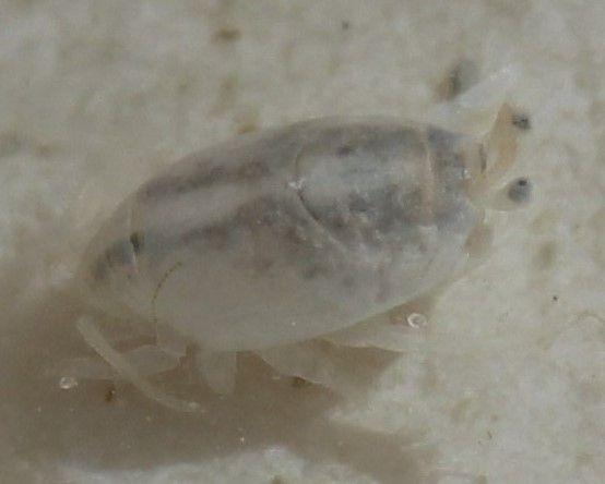 Crustacea - Classe Malacostraca, Subclasse Eumalacostraca (Ordem: Decapoda, Emerita sp). O tatuí (ou tatuíra) é um tipo de caranguejo escavador que habita em praias arenosas, alimenta-se de planctôn e resíduos orgânicos misturados com a areia.