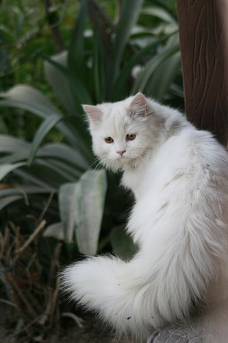 white longhaired kitty