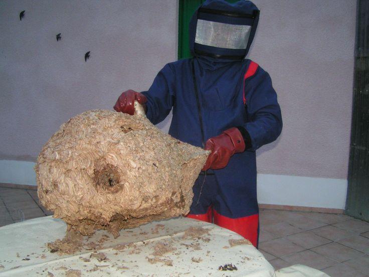 Les préfectures vont pouvoir ordonner la destruction des nids de frelons asiatiques, a annoncé vendredi 3 octobre à Clermont-Ferrand la ministre de l'Envir