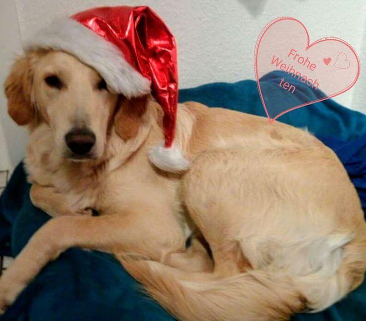 Hunde Foto: Renate und Sammy - Sammy wünscht Frohe Weihnachten 🎅 Hier Dein Bild hochladen: http://ichliebehunde.com/hund-des-tages  #hund #hunde #hundebild #hundebilder #dog #dogs #dogfun  #dogpic #dogpictures