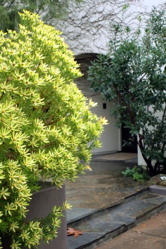 Leucadendron. genus of evergreen shrubs or small trees native to South Africa. Most  grow up to 1 m tall, some to 2 or 3 m. A few grow into moderate-sized trees up to 16 m tall. Drought tolerant