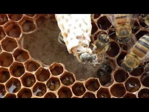 Apiculture: Naissance d'une reine abeille - Birth of a bee queen - YouTube