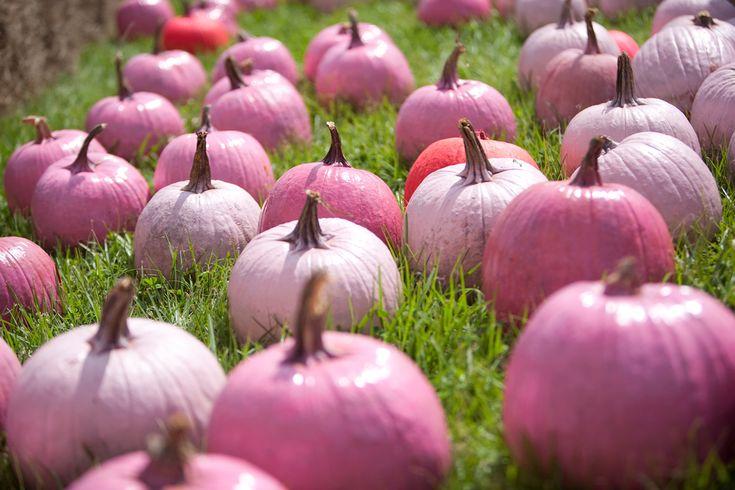 Naturally pink hybrid pumpkins.