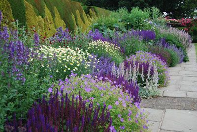 "Salvia's ""Midnight Blue"", Scabiosa, Lambs Ear, Geranium Sanguium (Cranesbill Blue?),"