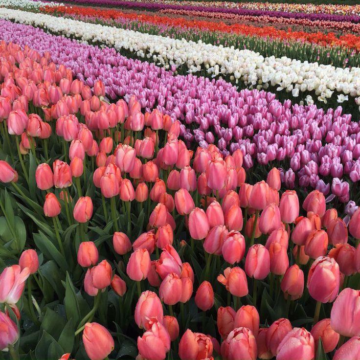 Viaggio di primavera ad Amsterdam tra tulipani e mulini a vento