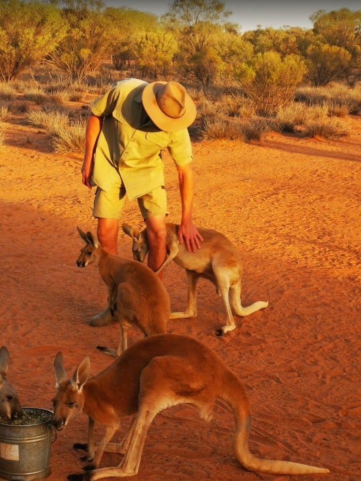 Kangaroos in the Outback Near Alice Springs in Australia