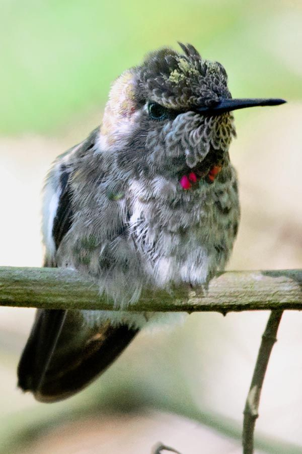 hungry baby hummingbird | HUMMINGBIRDS Hum...'Cause They ...