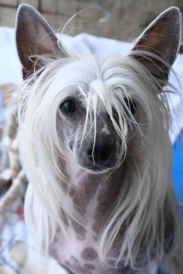 """Don't hate me because I have beautiful hair. You can too!"" said a pretty little pup."