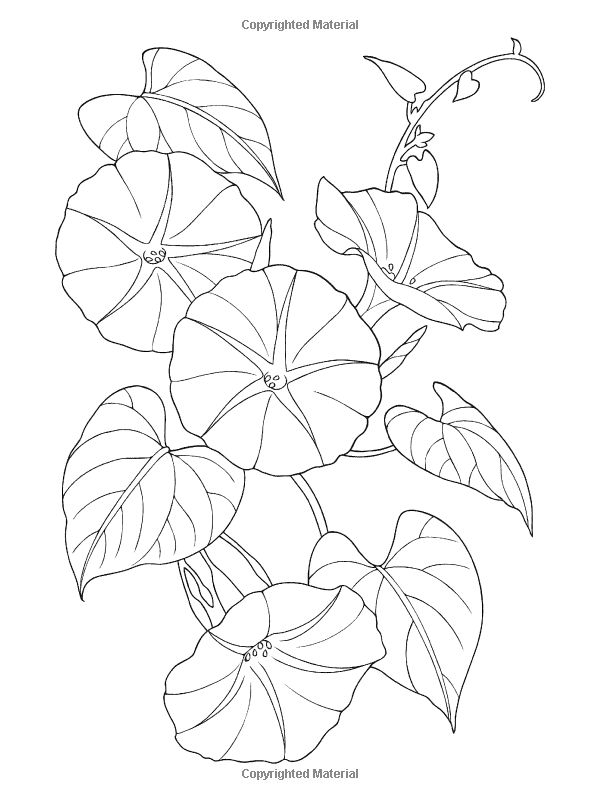 Morning Glory Flower Line Drawing