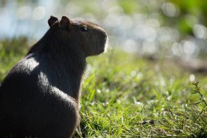 A capybara, the world's biggest rodent, often found grazing around giant armadillo burrows. Photograph: Maramedia