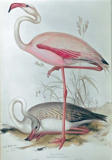 Phoenicopteridae, Caribbean #flamingo, colour lithograph, by Edward Lear