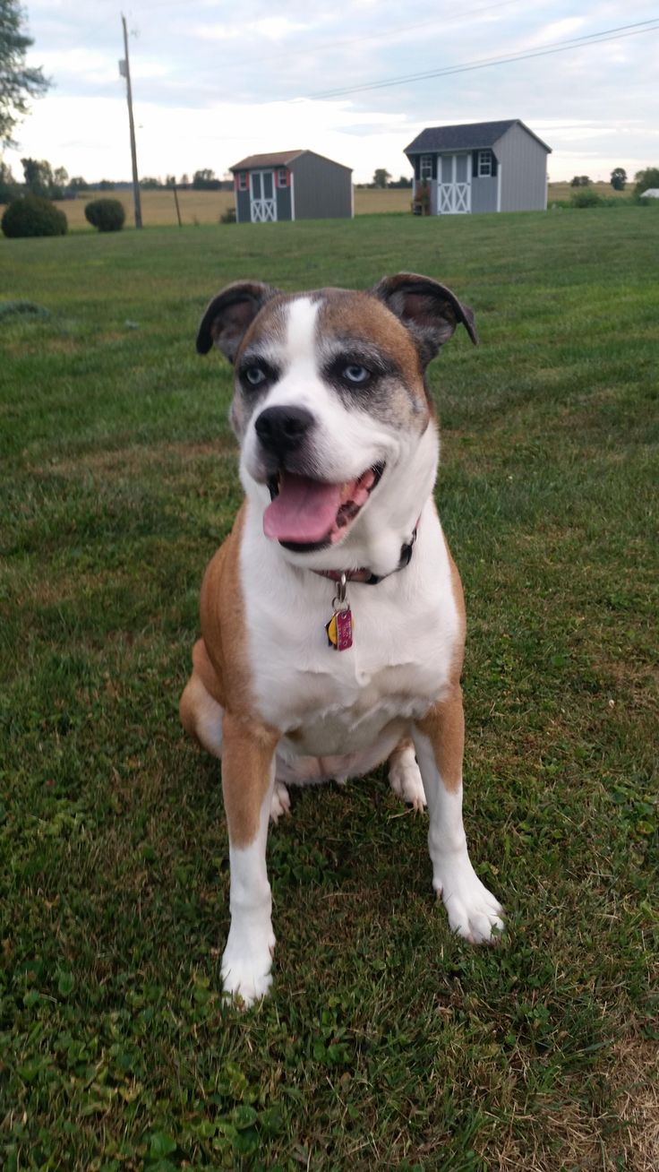 http://ift.tt/2uf3YvK response to the pitbull husky post if you are REALLY lucky you get some boxer in the mix too! Reddit meet Taylor my blue eyed puppers who we rescued 8 years ago.