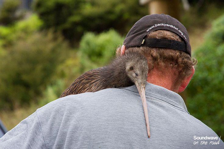 Kiwi bird conservation