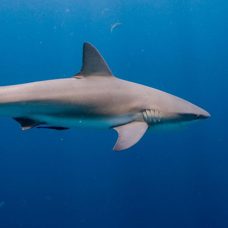 25+ Best Ideas about Species Of Sharks on Pinterest ...