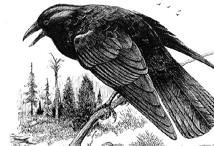 Crows--The Sole Superstition
