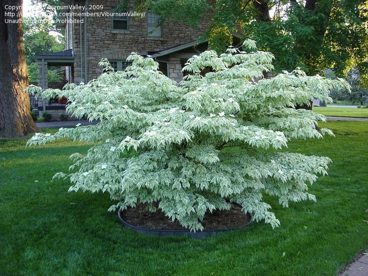 Cornus kousa wolf eye chinese dogwood a compact variegated for Best plants for front flower bed