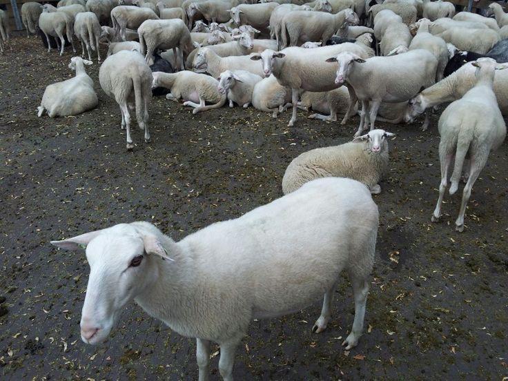 Sheep....