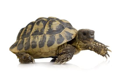 Hermans Tortoise Testudo hermanni