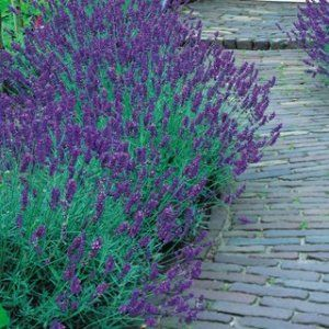 Lavender - Munstead from Awapuni Nurseries , <p>Munstead lavender is commonly used as a border, bedding and dry flower.</p>