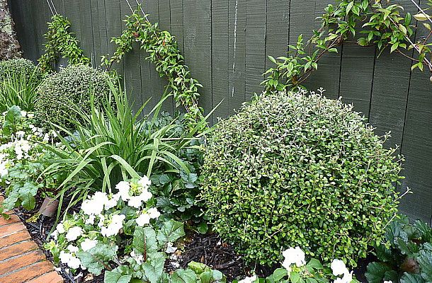 Corokia Balls centred on a Chinese Star Jasmine espalier, by HEDGE Garden Design & Nursery