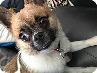 Livonia, MI - Chihuahua/Pomeranian Mix. Meet Holly, a puppy for adoption. http://www.adoptapet.com/pet/17317461-livonia-michigan-chihuahua-mix