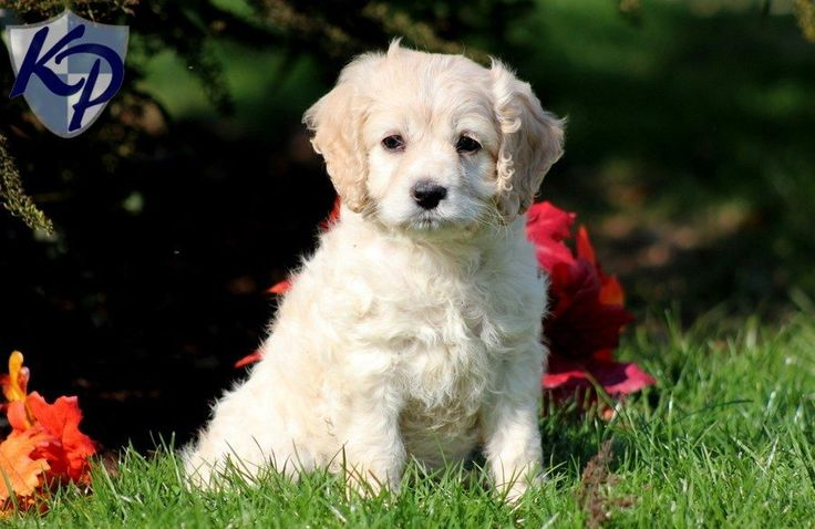 Cockapoo puppies for sale in PA! Browse our Cockapoo puppies provided by certified Cockapoo breeders in PA. Find Cockapoo for sale today!