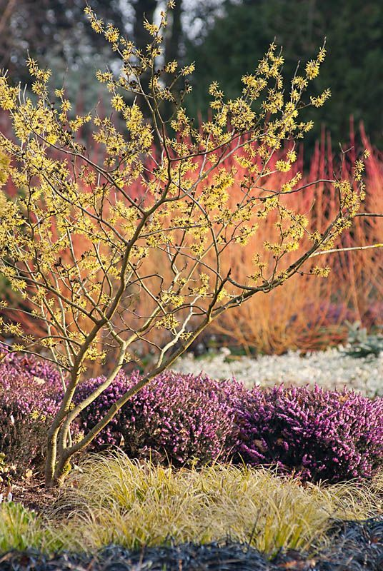 Cornus mas  Origin: W Asia, Europe  H x S: 5 x 5 m Foliage: Ovate dark green leaves to 10 cm, turning red-purple in autumn. Flowers: Yellow flowers in small umbels to 2 cm across, in late winter before the leaves. Fruit: Oblong-ellipsoid, fleshy bright red fruit are produced in late summer and are edible when ripe.
