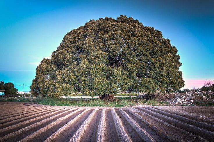 Magnificent tree - named the Ficus de los Mazones. Almoradi, Spain