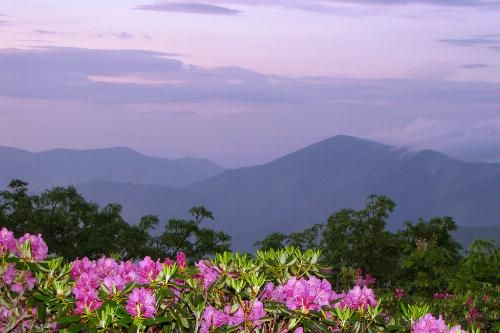 "Rhododendrons in North Carolina  Photo Caption: Summer rhododendrons at Craggy Gardens near the Blue Ridge Parkway in NC  When to Go: Mid-June.  Where to See the Best Flowers: Slopes of the Great Craggy Mountains, 14 miles NE of Asheville. At 5,525 feet above water level, known as ""Craggy Gardens"" just off the Blue Ridge Parkway is awash with rhododendrons in June and July. A 1.4-mile hike leaving from the Craggy Gardens Visitor Center (BRP milepost 367) is the perfect way to explore."