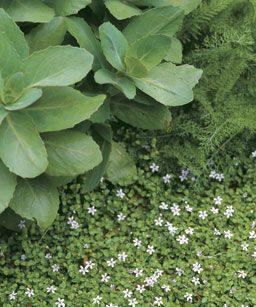99 Best Ground Cover Images On Pinterest Ground Covering
