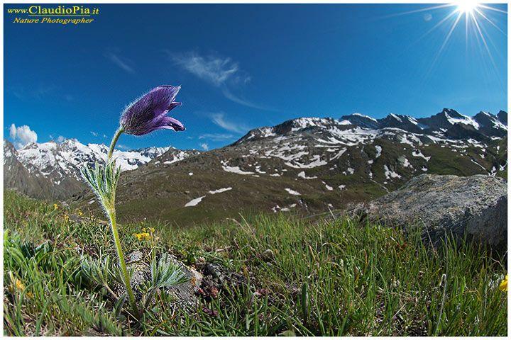 Pulsatilla halleri, fiori di montagna, alpini, fotografia, foto, alpine flowers, gran paradiso