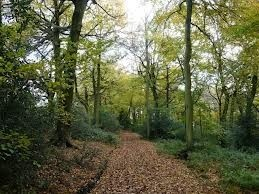 Cat's walk from Chudleigh to Radnage takes her through Chilterns beech woods