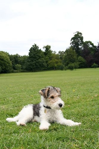 Colin the Wire Fox Terrier 0770 by Michael Lyons, via Flickr. Colin's a dude !