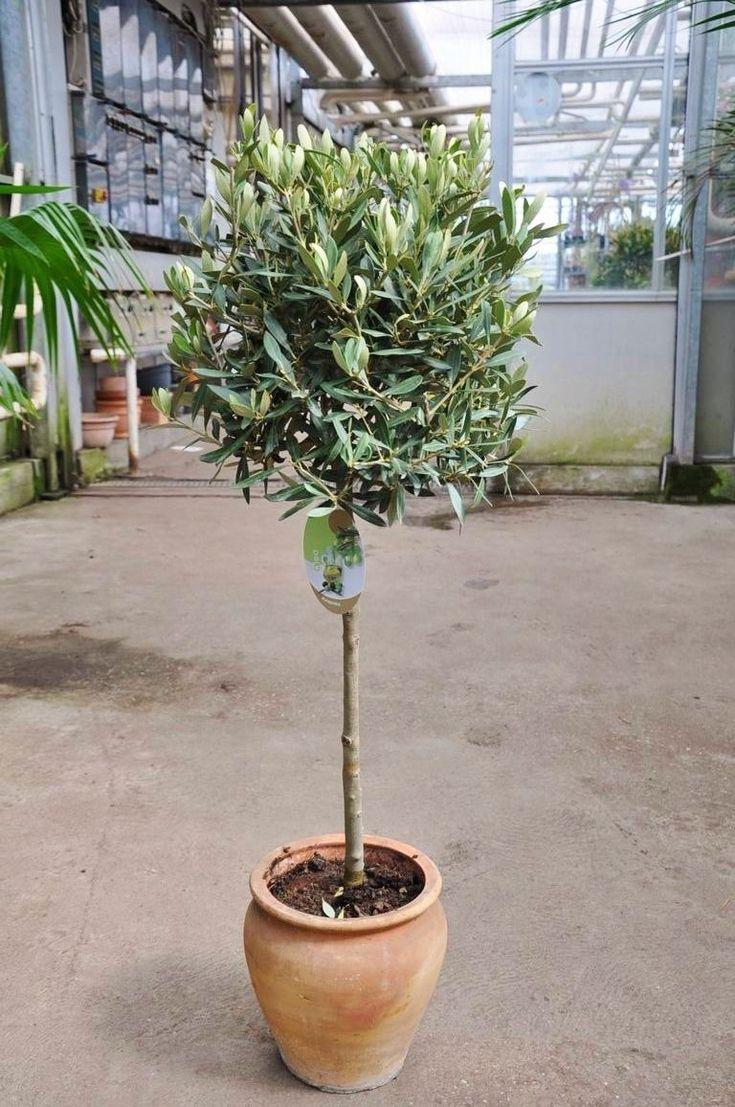Die Besten 25+ Olivenbaum Ideen Auf Pinterest, Wohnzimmer