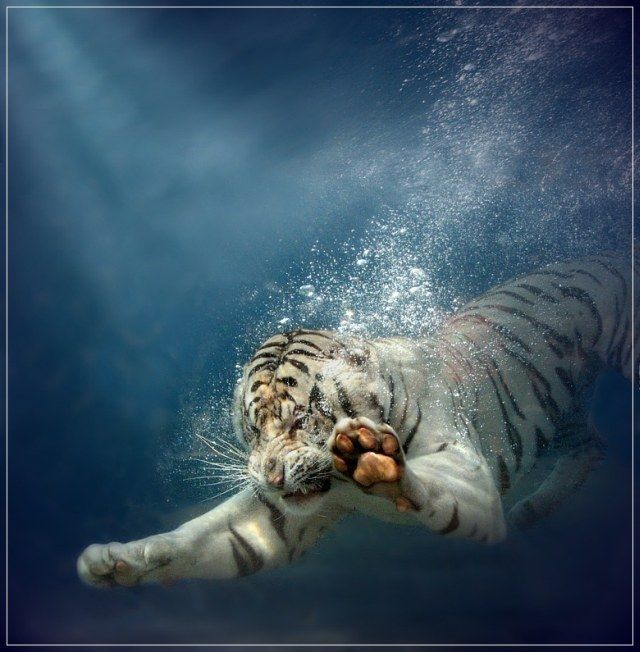 The good news is this aquatic death tiger isn't on the hunt; he's doing artistic recreations of the cover for Nirvana's Nevermind. The bad news is doing artistic recreations of the cover for Nirvana's Nevermind is the traditional pre-hunt warmup for aquatic death tigers.