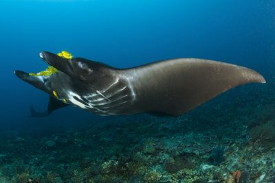 The Reef Manta Ray with Yellow Pilot Fish in Front of its Mouth