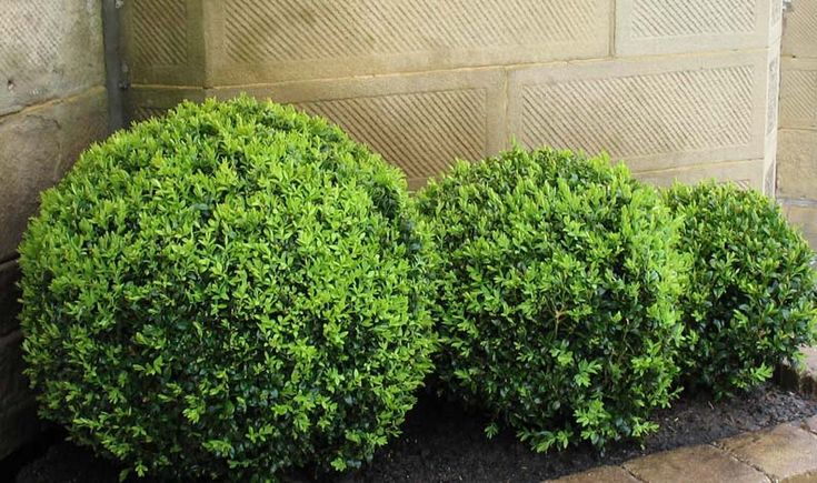 Buxus sempervirens English Box is a slow growing beautiful shrub that is very hardy. The foliage is a dark glossy green which is lovely, round and full. These mature English Box plants have been shaped into a formal ball which looks fantastic as a stand out feature in the garden or in pots. They look especially good grouped together.