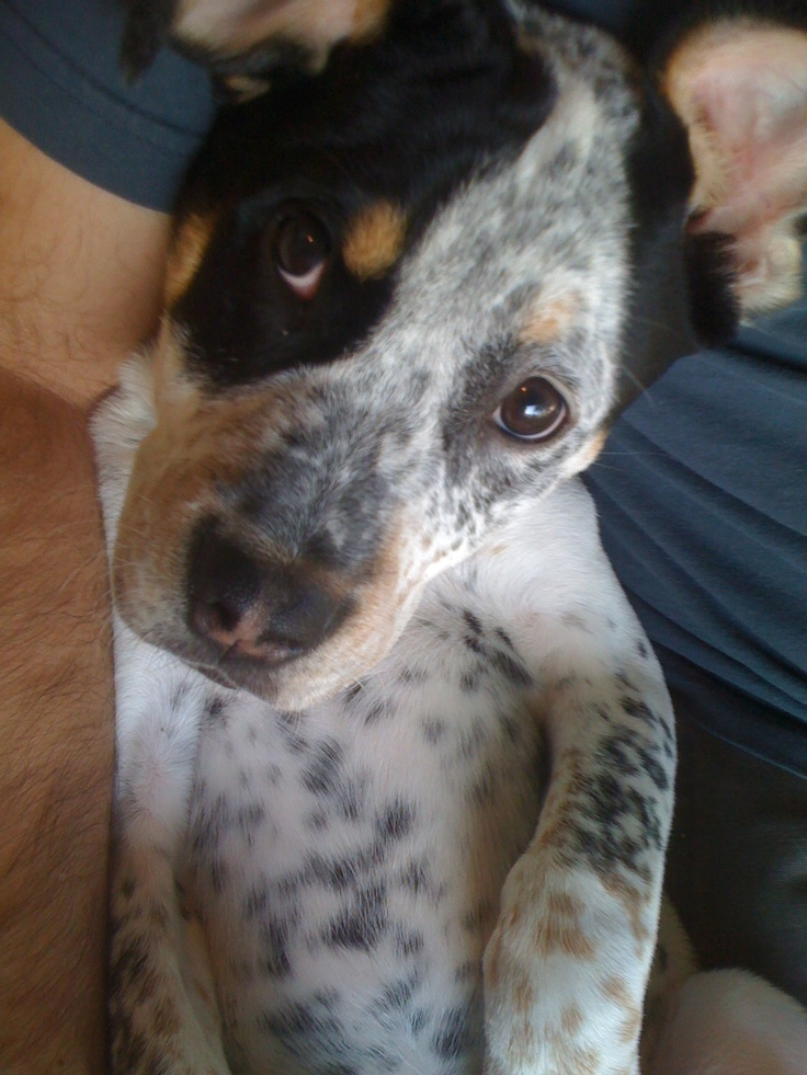 Blue Heeler Mix Puppy Puppy poot, Blue Heele...