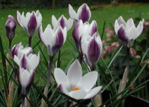 1000 Images About Crocus On Pinterest Early Spring