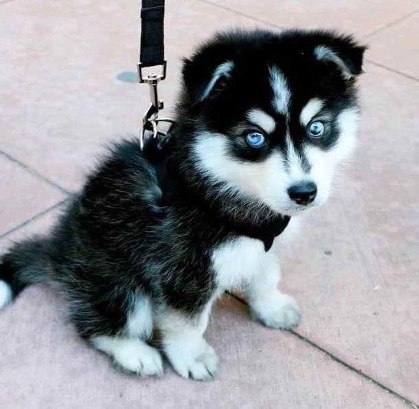 Super Blue Eyes Siberian Husky Puppies For Lovely Homes Super Blue