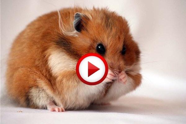 Hamster Gets Shot And Pretends To Be Dead Video #animals, #videos, #pinsland, https://apps.facebook.com/yangutu