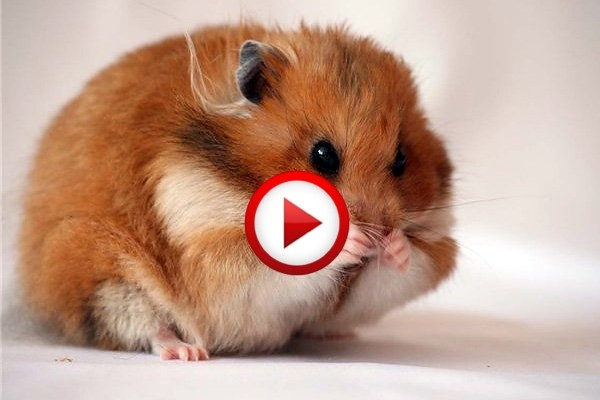 Hamster Gets Shot And Pretends To Be Dead Video #animals, #videos, #pinsland, https://apps.facebook.com/yangutu
