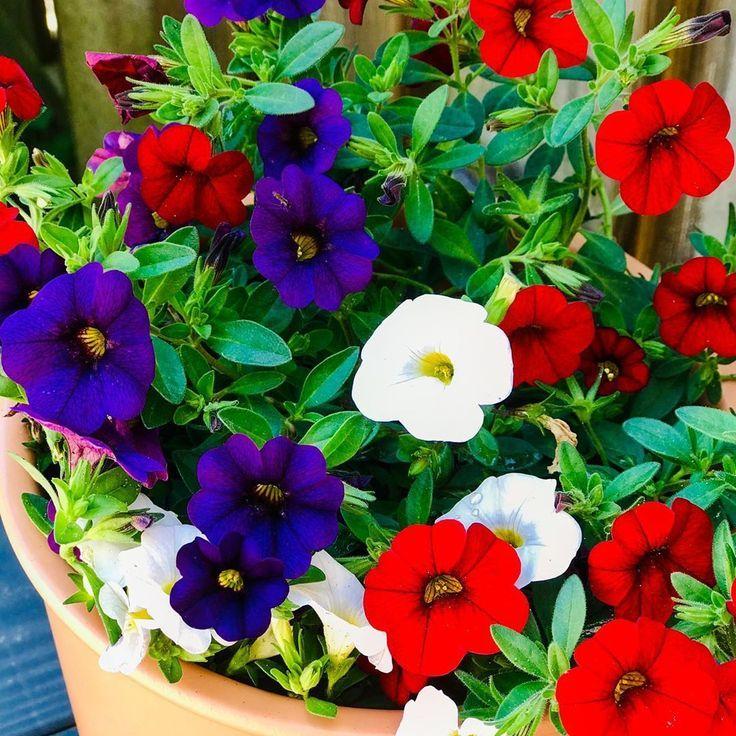 Petunias Meaning Container Gardening In 2020 Petunias Petunia Flower Popular Flowers