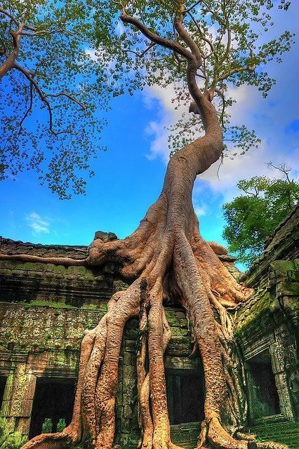 Trees grow from the Ta Prohm Temple ruins in Angkor, Cambodia. (via Around the World)