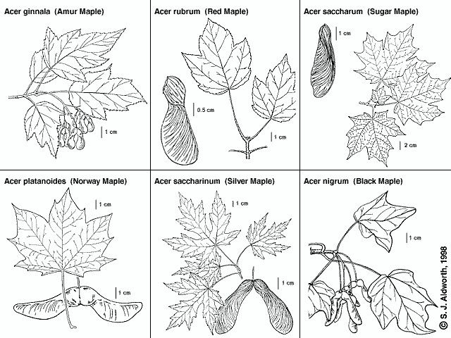 Types of maples to collect sap from