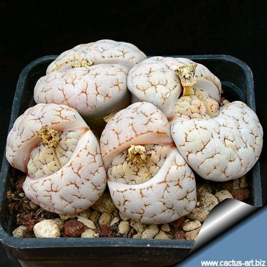 Lithops gracilidelineata v. waldroniae C189