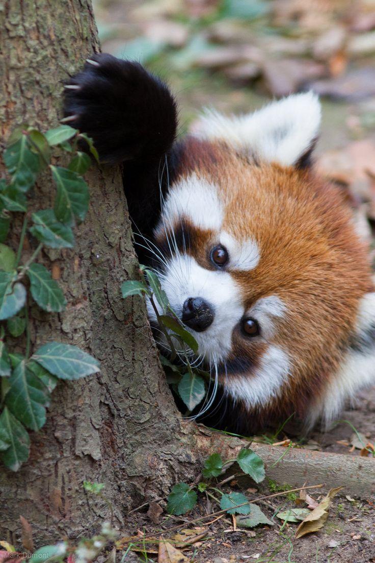 El panda rojo o panda menor (Ailurus fulgens) Su dieta se compone de alrededor de dos tercios de bambú, pero también come bayas, frutas, hongos, raíces, líquenes y se sabe que complementan su dieta con crías de ave, huevos, insectos y pequeños roedores en algunas ocasiones. Pero en cautiverio comen fácilmente carne. Son excelentes escaladores y realmente hace poco más que comer y dormir debido a su dieta baja en calorías.