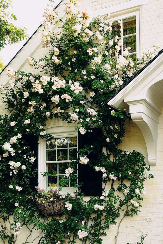 I've always loved the look of ivy covered house, but roses? even better! // Climbing roses